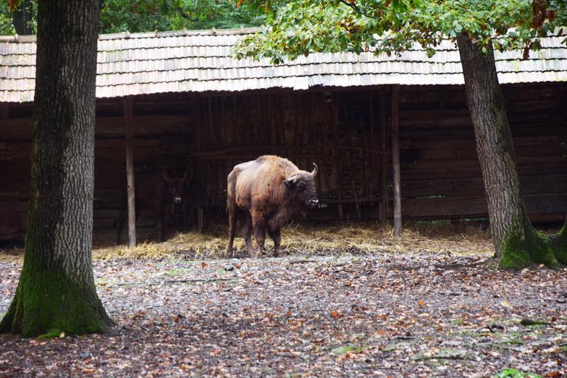 Vizualizati imaginile din articolul: O pereche de bizoni europeni din Slovacia au ajuns la Zoo Tîrgu Mureş!