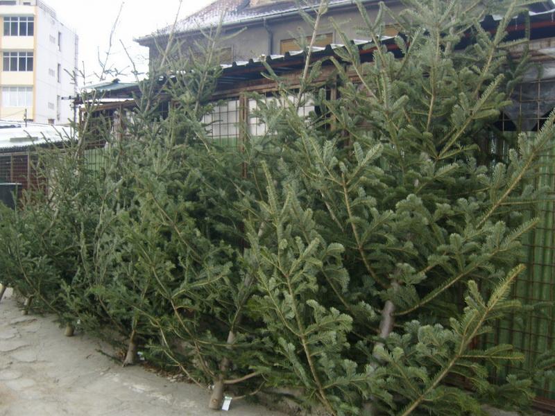 Vizualizati imaginile din articolul: Brazi de Crăciun în cinci pieţe din Tîrgu Mureş