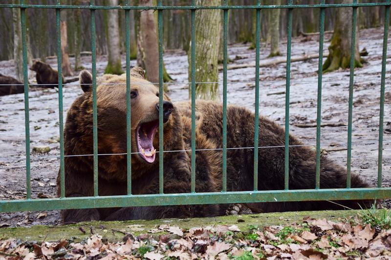 """Vizualizati imaginile din articolul: """"Săptămâna urșilor' la ZOO Târgu Mureș!"""