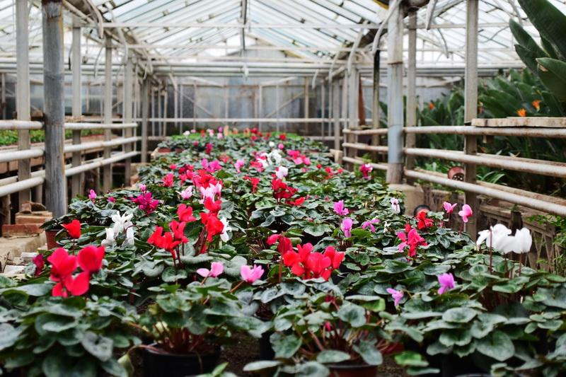 Vizualizati imaginile din articolul: Előkészületek a tavaszi szezonra - A Marosvásárhelyi Polgármesteri Hivatal keretében működő Üvegházak ügykezelőségénél