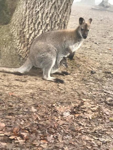 Vizualizati imaginile din articolul: Két kengurukölyök született a Marosvásárhelyi Állatkertben!