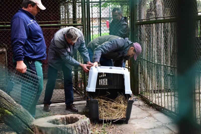 Vizualizati imaginile din articolul: Öt új példánnyal gazdagodott a Marosvásárhelyi Állatkert: három majommal (japán makákó) és két koátival! Az állatok, amelyeket egy magánszemélytől foglaltak le, már látogathatók.