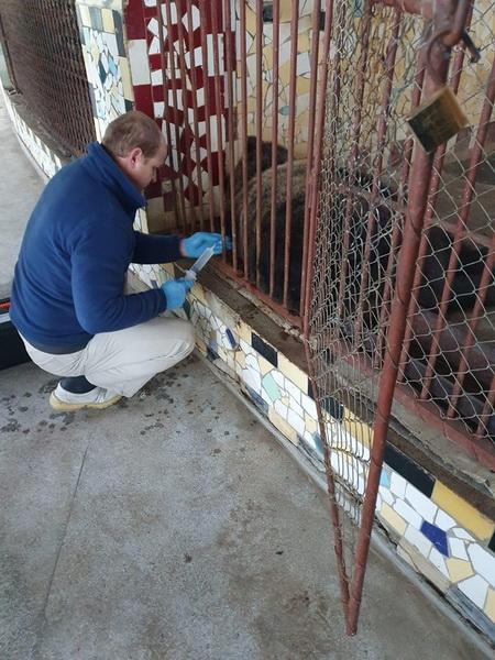 Vizualizati imaginile din articolul: A Balavásáron megsérült és a Marosvásárhelyi Állatkertben gondozott medve magához tért a kómából! Az állatorvos és az állatkert alkalmazottai éjjel-nappal felügyelik.