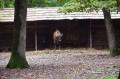 O pereche de bizoni europeni din Slovacia au ajuns la Zoo Tîrgu Mureş!