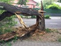 Copac prăbuşit pe Bulevardul Cetăţii! Arborii uscaţi sunt pericol public, iar Primăria nu poate lua măsuri fără avizul comisiei de specialitate, din care fac parte ONG-urile şi consilierii locali