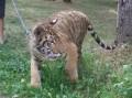 Tigru bengalez la Zoo Tîrgu-Mureş
